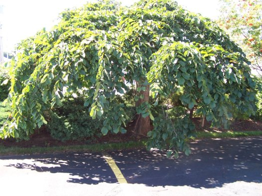 A typical Camperdown tree with its distinctive umbrella shape